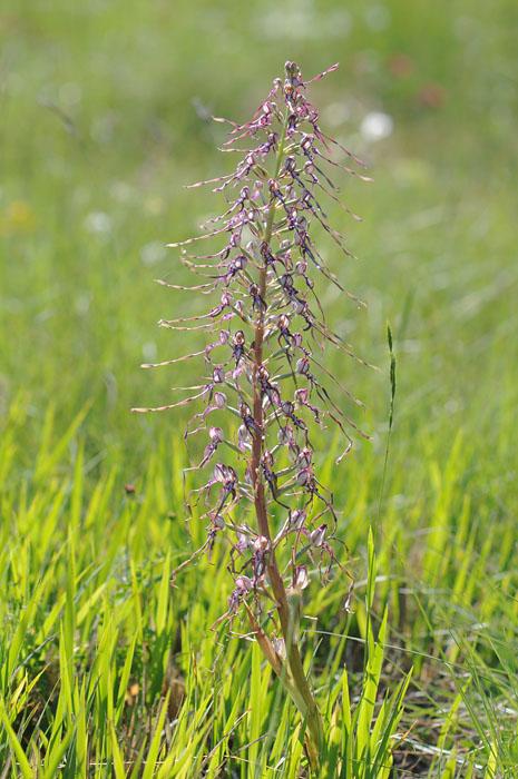 Les Ophrys tardifs d'Italie du sud Dsc_0215