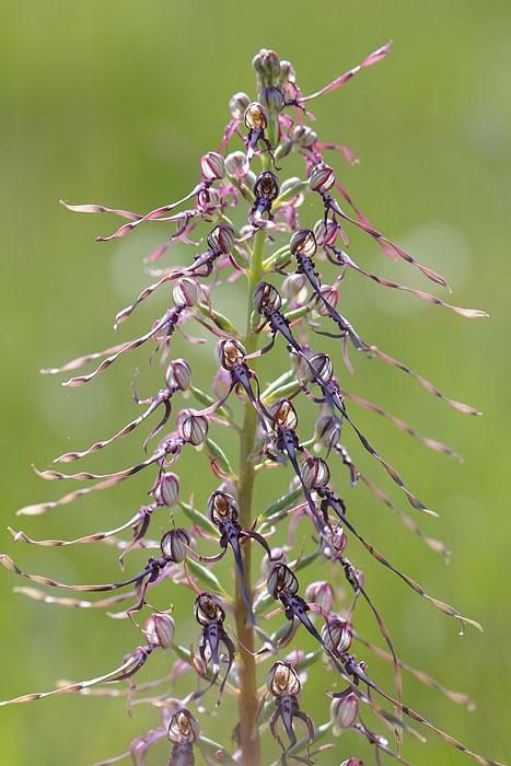 Les Ophrys tardifs d'Italie du sud Dsc_0216