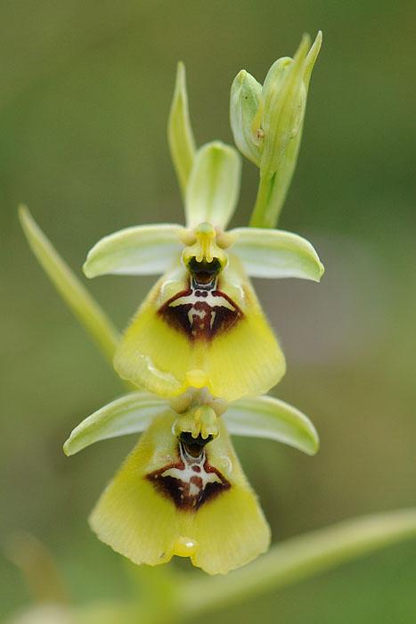 Les Ophrys tardifs d'Italie du sud - Page 2 Dsc_0218