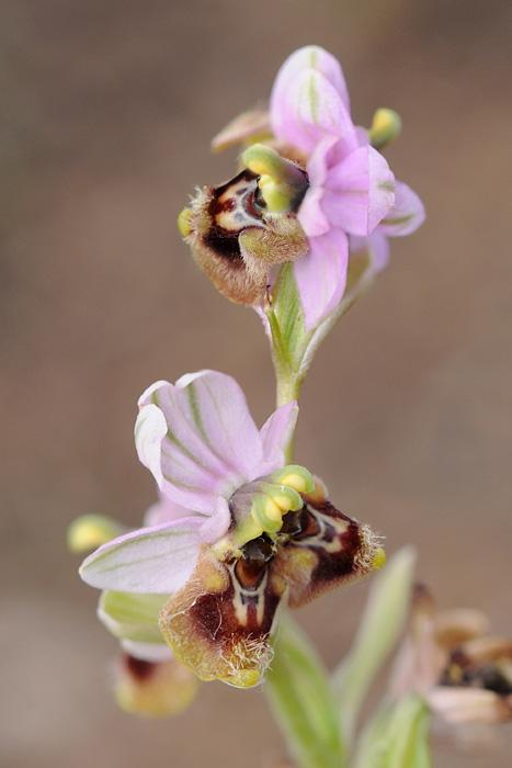 Les Ophrys tardifs d'Italie du sud Dsc_0314