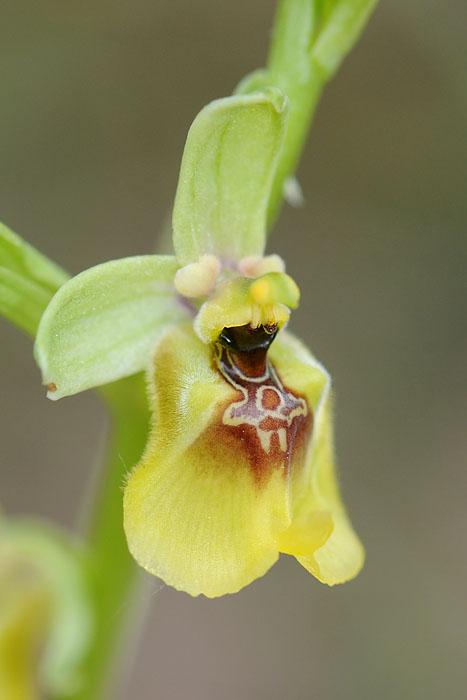 Les Ophrys tardifs d'Italie du sud Dsc_0315