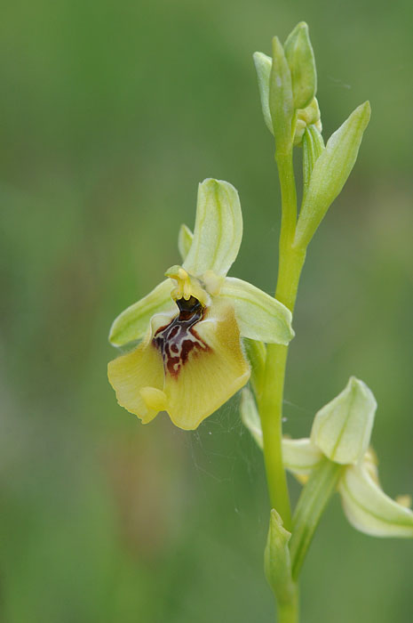 Les Ophrys tardifs d'Italie du sud Dsc_0317