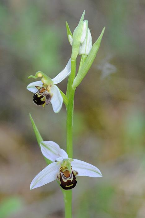 Les Ophrys tardifs d'Italie du sud Dsc_0416