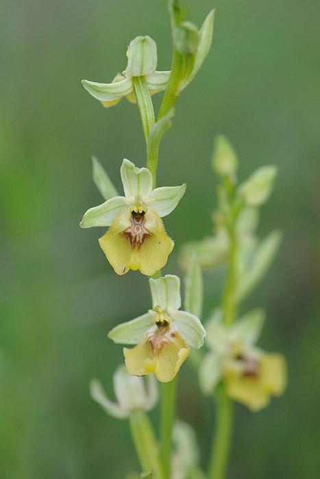 Les Ophrys tardifs d'Italie du sud Dsc_0417