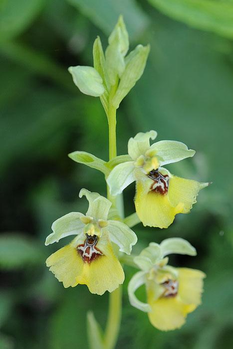 Les Ophrys tardifs d'Italie du sud Dsc_0419