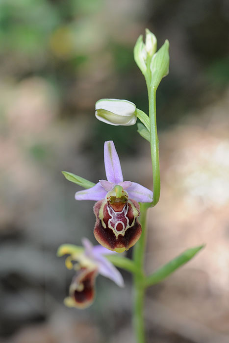 Les Ophrys tardifs d'Italie du sud Dsc_0613