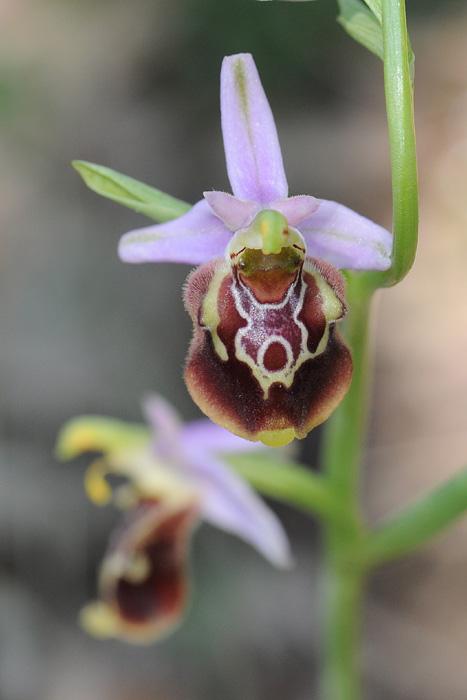 Les Ophrys tardifs d'Italie du sud Dsc_0614