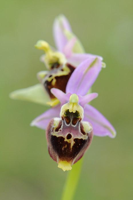 Les Ophrys tardifs d'Italie du sud - Page 2 Dsc_0810