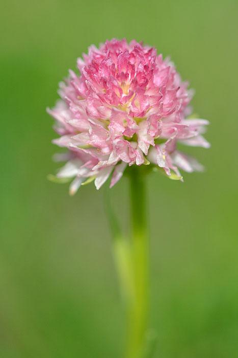 Gymnadenia ( Nigritella ) gabasiana ( Nigritelle de Gabas ) Jlr_0712