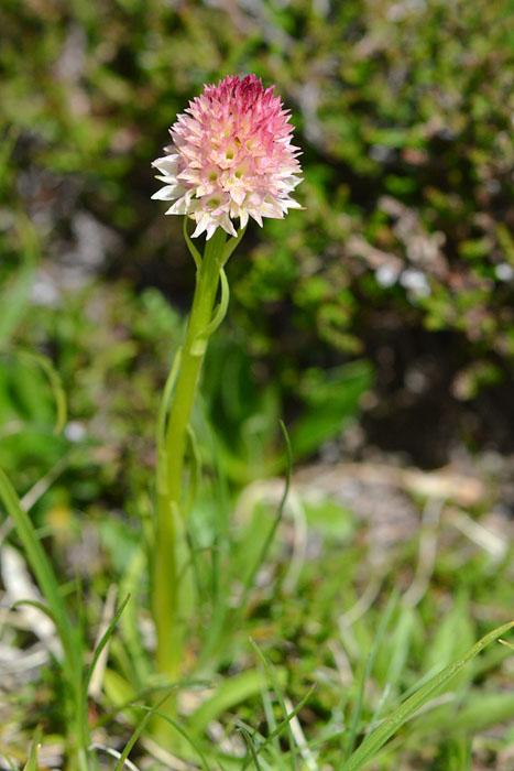 Gymnadenia ( Nigritella ) gabasiana ( Nigritelle de Gabas ) Jlr_0713