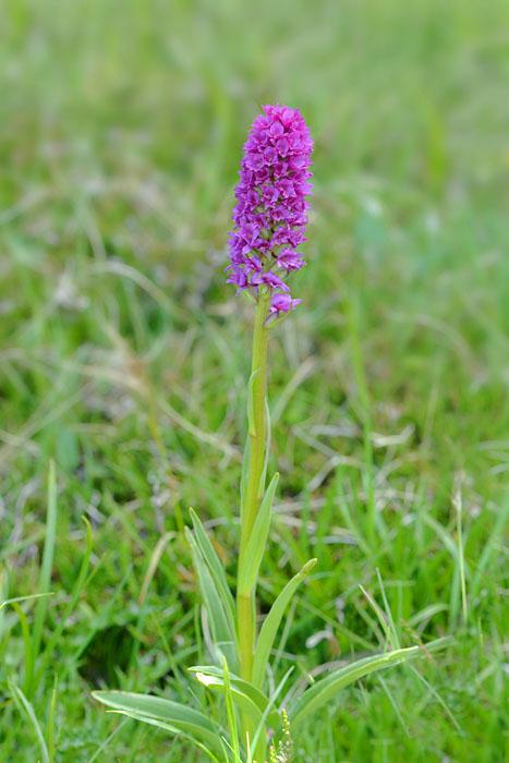 gymnadenia conopsea X gymnadenia gabasiana Jlr_0720