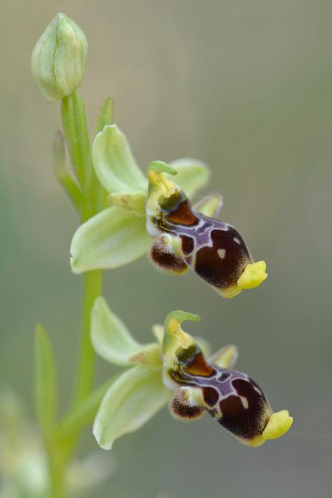 Les Ophrys tardifs d'Italie du sud Jlr_1014