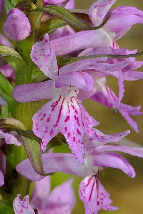 Les Ophrys tardifs d'Italie du sud Jlr_1023