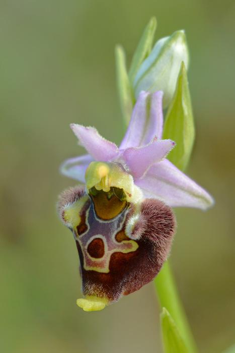 Les Ophrys tardifs d'Italie du sud - Page 2 Jlr_1025