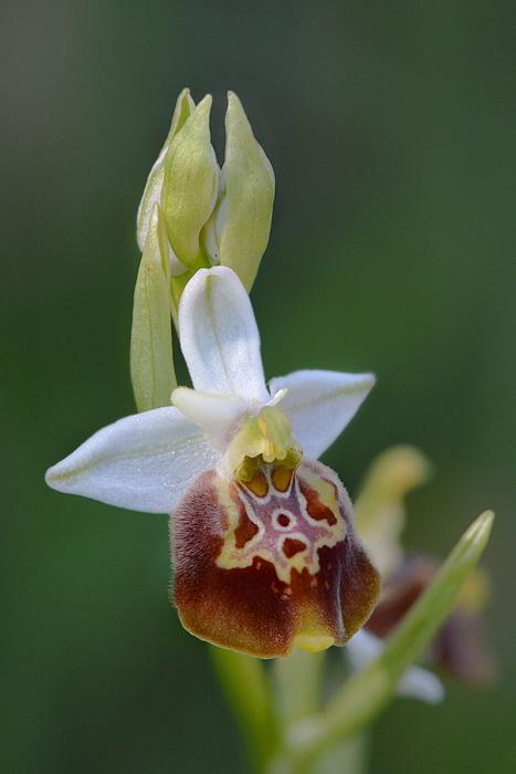 Les Ophrys tardifs d'Italie du sud - Page 2 Jlr_1029