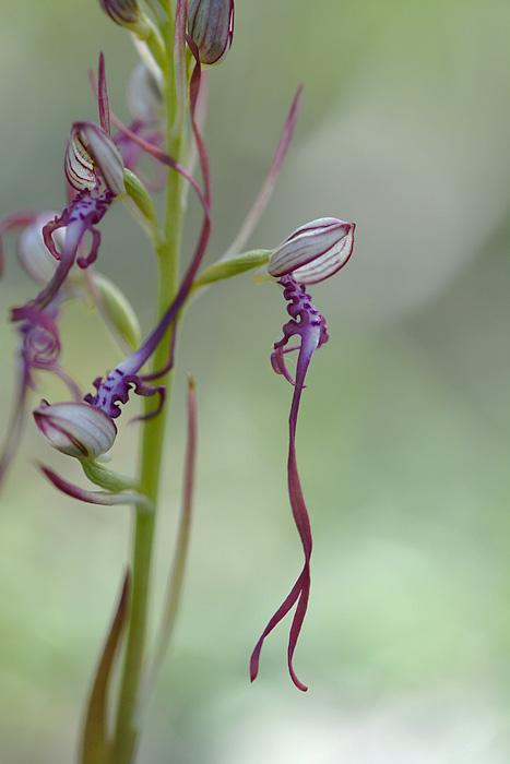 Les Ophrys tardifs d'Italie du sud Jlr_9510