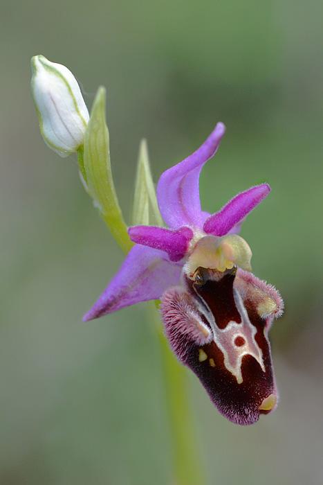 Les Ophrys tardifs d'Italie du sud - Page 2 Jlr_9512