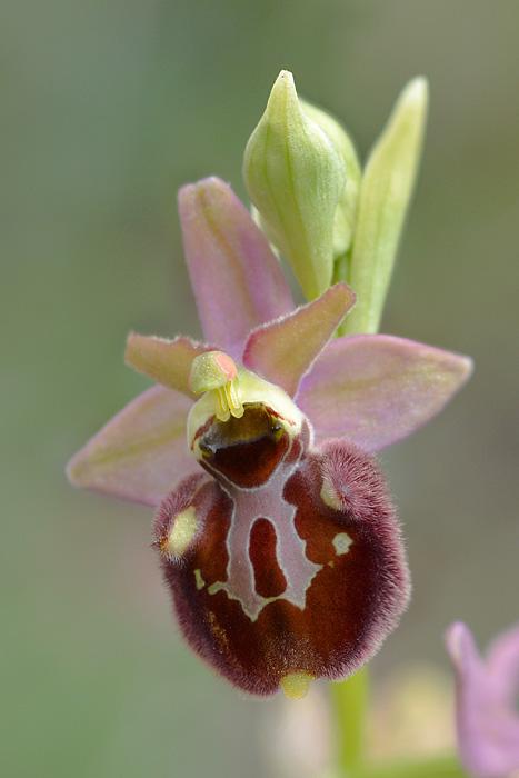 Les Ophrys tardifs d'Italie du sud - Page 2 Jlr_9514