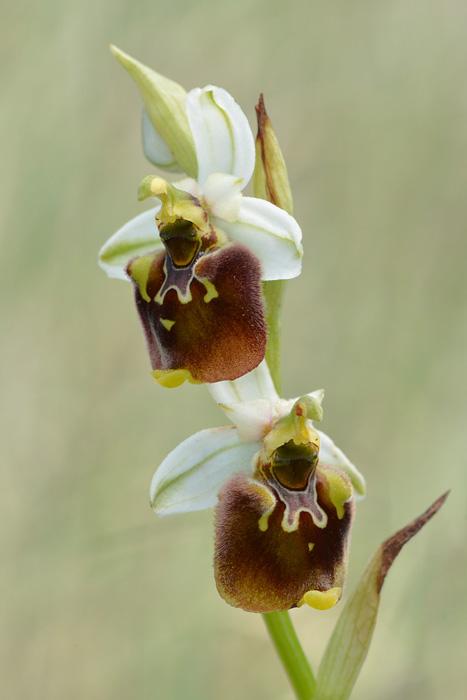 Les Ophrys tardifs d'Italie du sud - Page 2 Jlr_9613