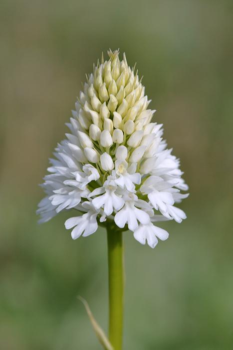 Les Ophrys tardifs d'Italie du sud Jlr_9910