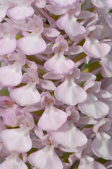 Les Ophrys tardifs d'Italie du sud Jlr_9912