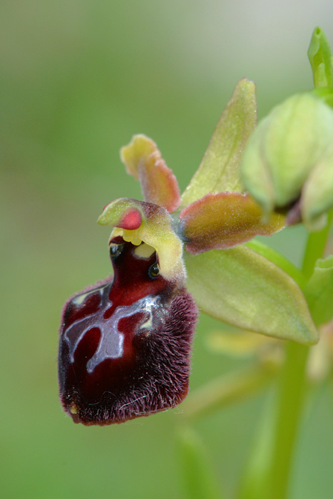 Les Ophrys tardifs d'Italie du sud Jlr_9918