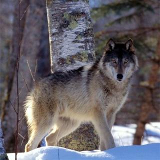 Cavalier celte- Pegaso- Terminé enfin Wolf210