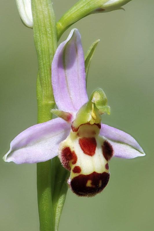Ophrys apifera formes avec clés de recherches... Op_api11