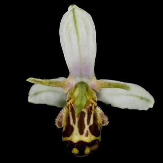 Ophrys apifera formes avec clés de recherches... Oph-ap10
