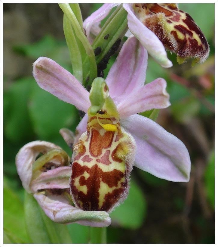 Ophrys apifera formes avec clés de recherches... Ophrys14
