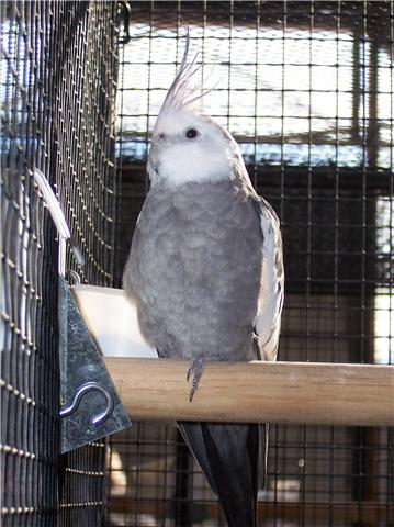 oiseaux de concour Getatt16