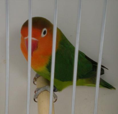 oiseaux de concour Palava10