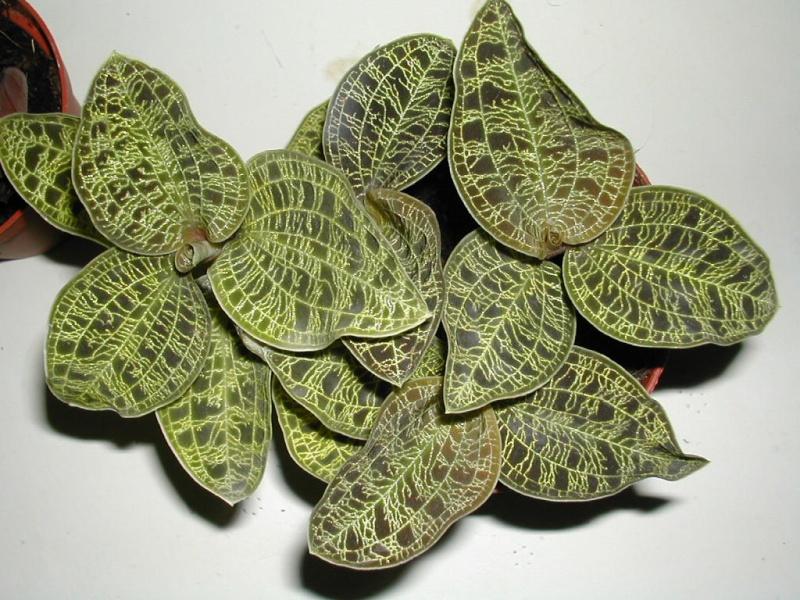 Pleione botaniques Dscn3515