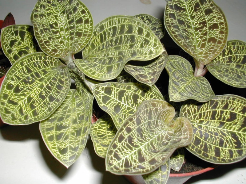 Pleione botaniques Dscn3516