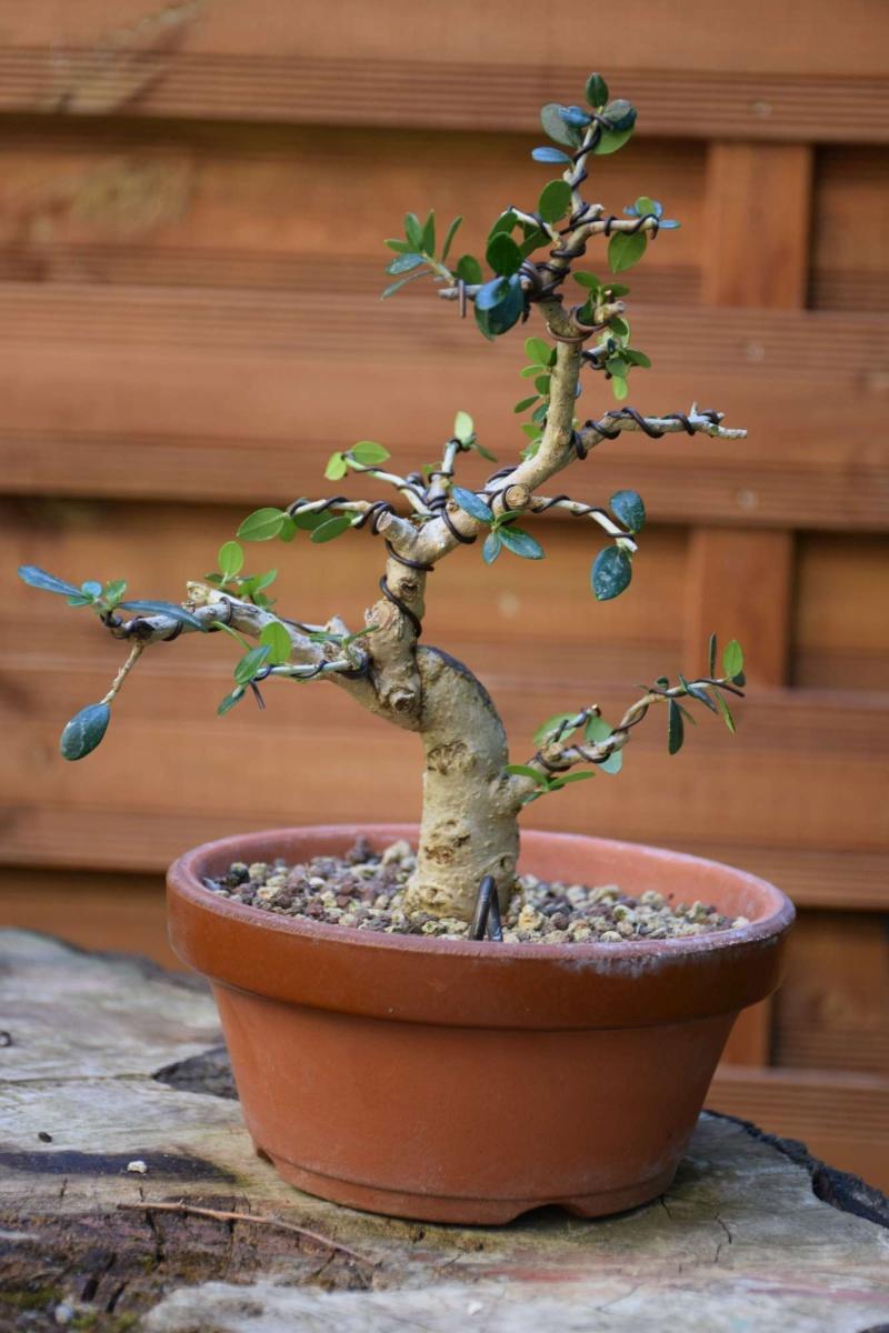 olivier de pepiniere - Page 2 Dsc_0122