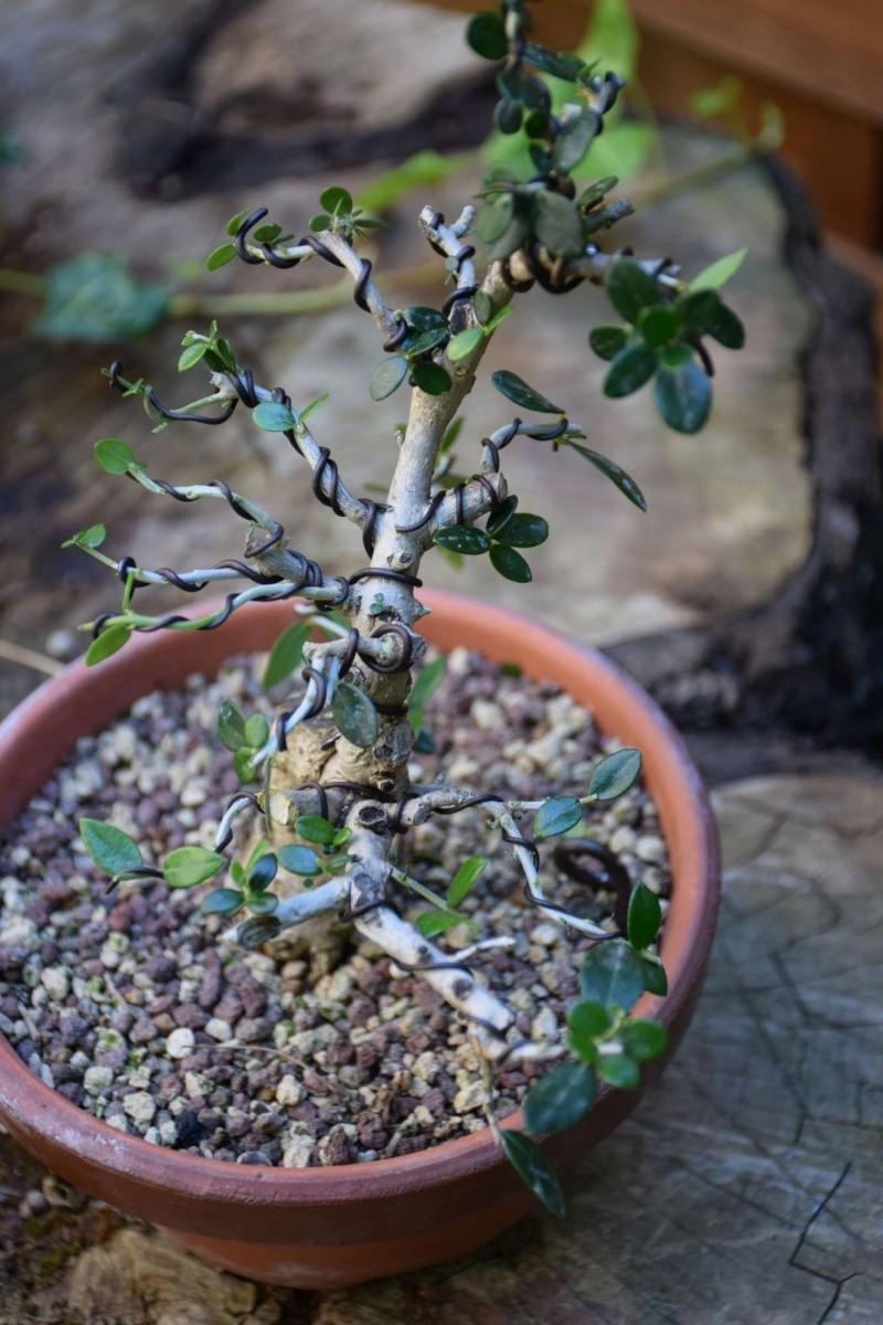 olivier de pepiniere - Page 2 Dsc_0126
