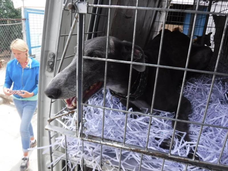 """Chicago galgo bleu à l'adoption """"Scooby France"""" Adopté Chicag10"""