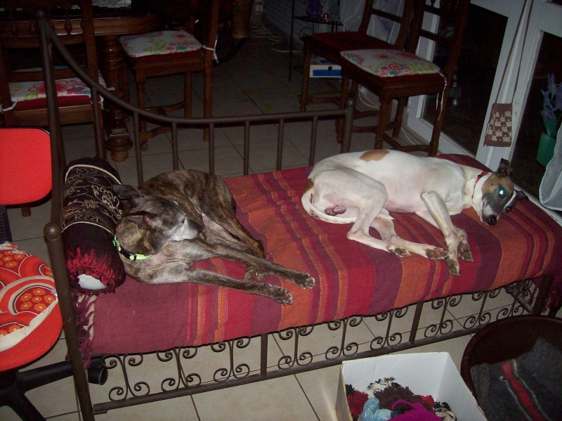 Shiva petite whippet de 7 ans et demi à l'adoption Scooby France Adoptée  Dingo_13