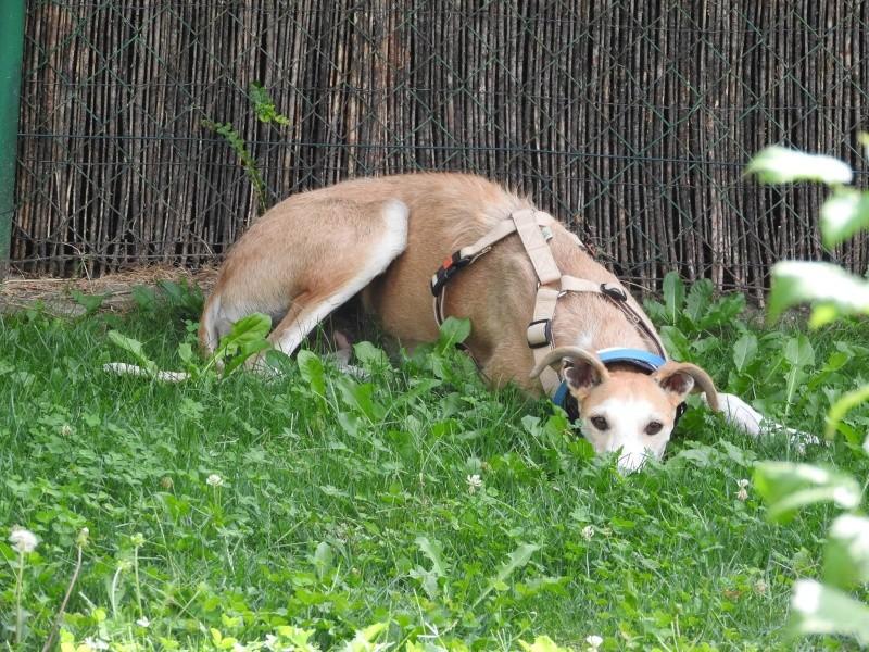 Barbas douce barbuda ,un coeur à prendre Scooby France/ Adoptée - Page 3 Lady_110