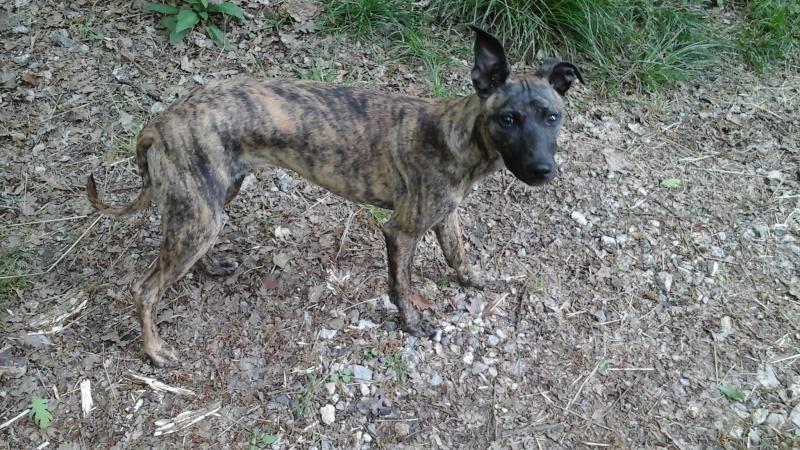 Lucky whippet de 7 mois à l'adoption Adopté Lucky10