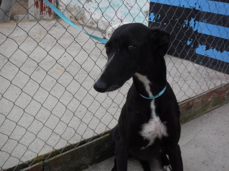 MELLI galga noire à l'adoption Scooby France  ADOPTEE - Page 8 Melli_16