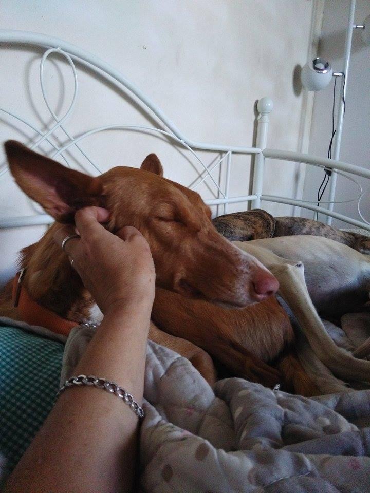 Pipo podenco à la Residencia chez Cobie Adopé  Pipo_610