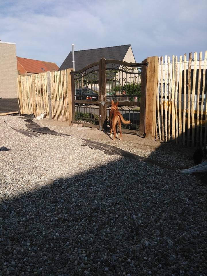 Pipo podenco à la Residencia chez Cobie Adopé  Pipo_a13
