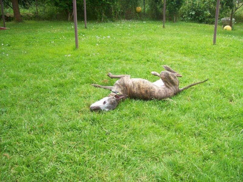 Shiva petite whippet de 7 ans et demi à l'adoption Scooby France Adoptée  Shiva_12