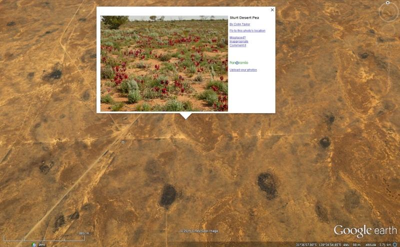 [Australie] - Swainsona formosa (Sturt Desert Pea) : la fleur du désert Sans_t48