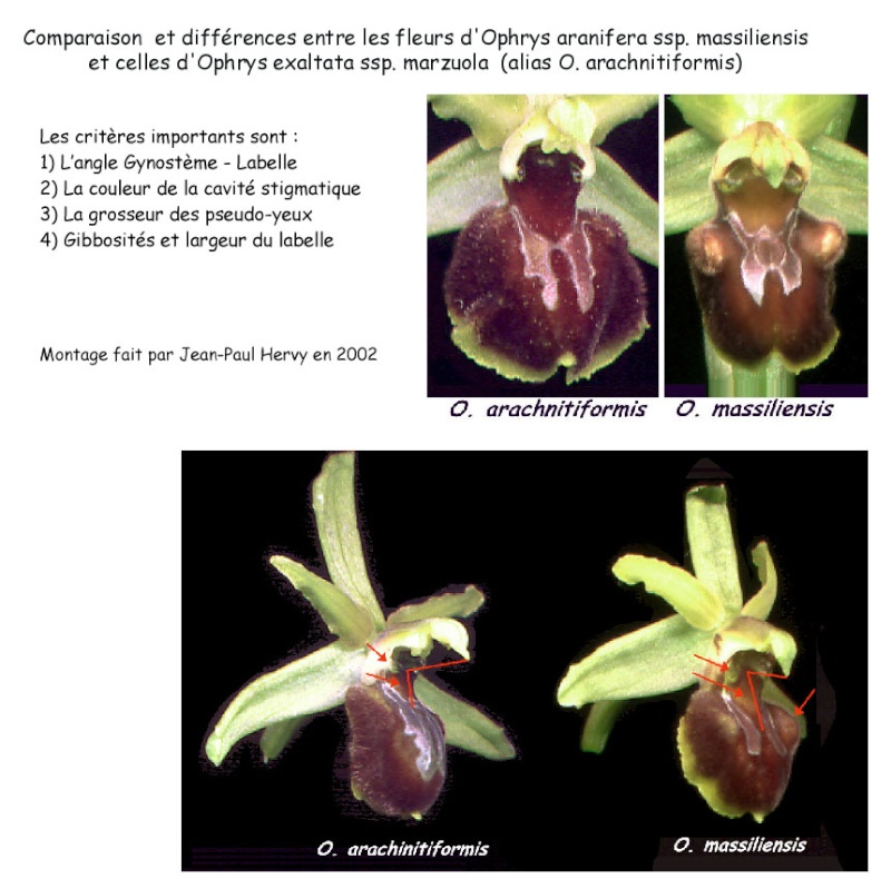 Ophrys massiliensis - Page 2 Ophrys10