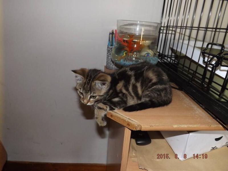 ASHLEY Chaton femelle tigrée  11050610