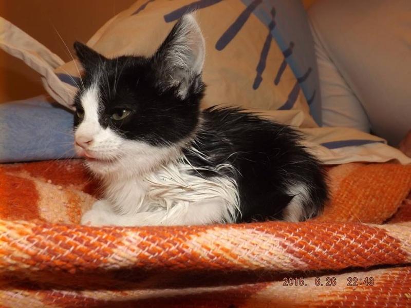 PIMPRENELLE, Chaton femelle noir et blanc de 3 mois 11141310