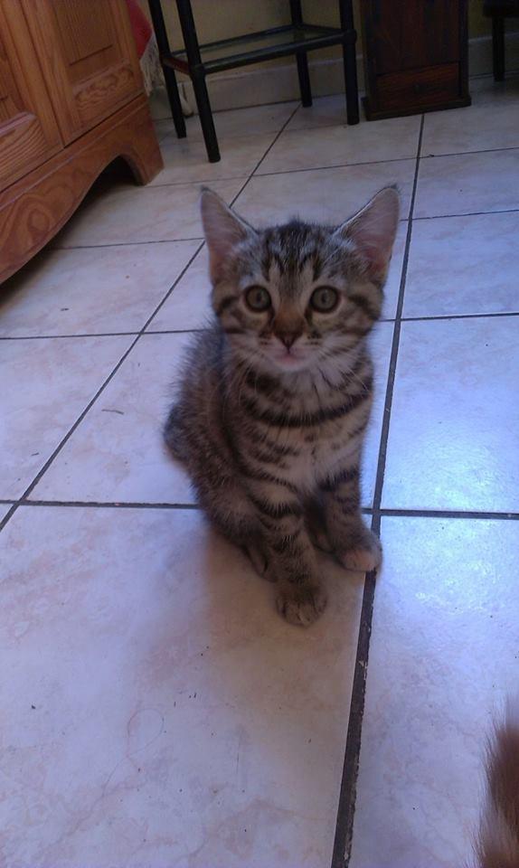 Chaton femelle tigrée de 2 mois 11391610