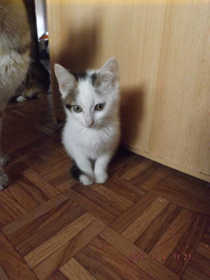 JOYCE, Chaton femelle blanc et tigrée de 2 mois 1/2 11659510